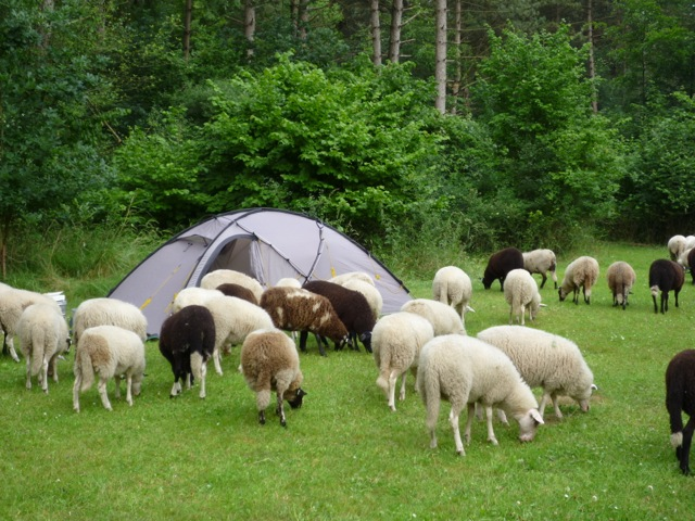 Schapen op de kampeerterreinen van de NTKC